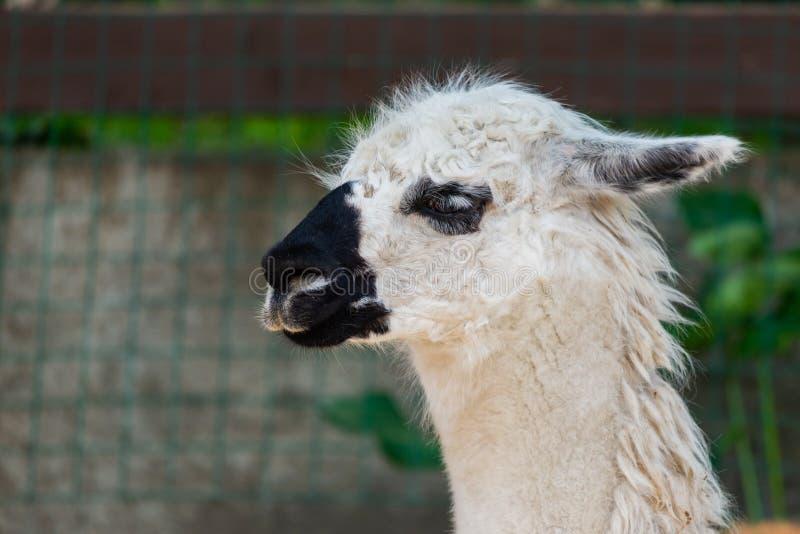 Le portrait d'un lama blanc dans les lamas cultivent image stock