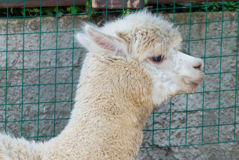 Le portrait d'un lama blanc dans les lamas cultivent images stock