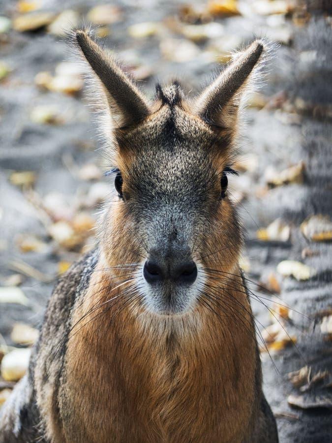Le portrait d'un lièvre sauvage est très étroit image stock