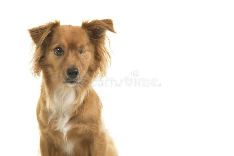 Le portrait d'une race mélangée a handicapé un chien observé d'isolement sur un fond blanc photographie stock libre de droits