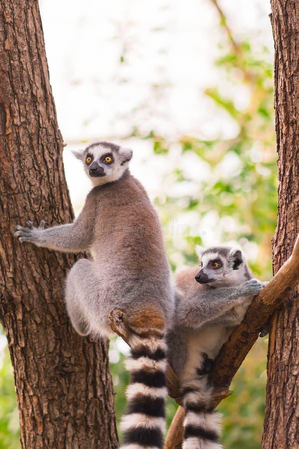 Le portrait de deux anneau-a coupé la queue le catta de lémur de lémur sur des branches d'arbre image libre de droits