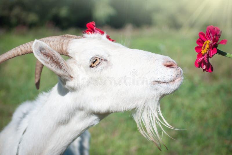 Le portrait de la chèvre drôle photo libre de droits