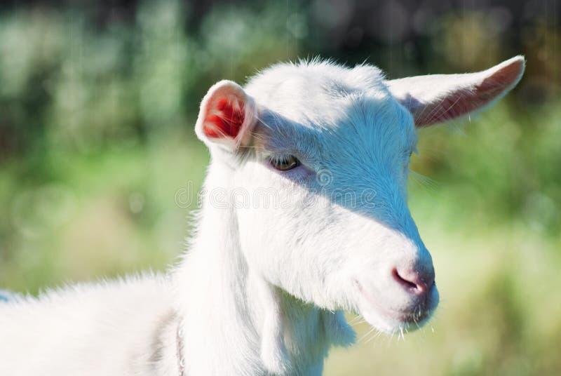 Le portrait de la chèvre drôle images libres de droits