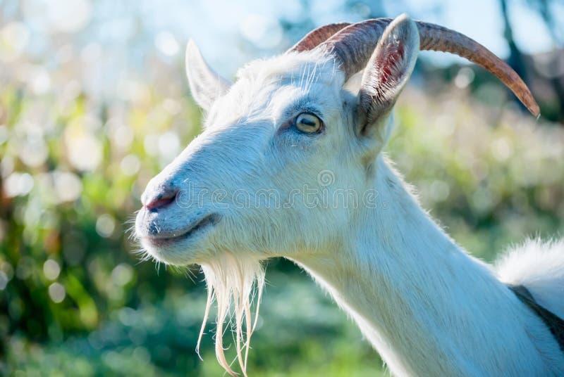 Le portrait de la chèvre drôle photo stock