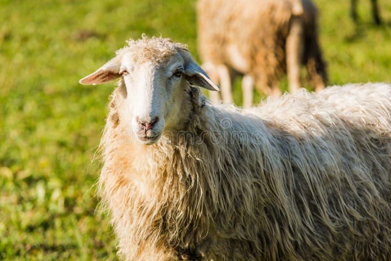 Le portrait de moutons, se ferment vers le haut de la vue image libre de droits