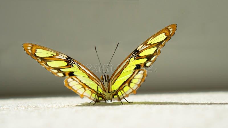 Le portrait de papillon de malachite sur le fond gris photo stock