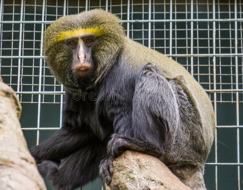 Le portrait de plan rapproché d'un hibou a fait face au singe, l'espèce animale vulnérable, primat tropical drôle du Congo, Afriq photos libres de droits