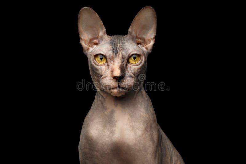 Le portrait de plan rapproché du chat grincheux de Sphynx, vue de face, noircissent d'isolement image stock