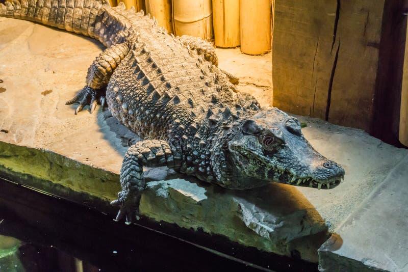 Le portrait de plan rapproché de faune d'un crocodile nain africain connaissent également le crocodile osseux ou large-foui un an image libre de droits