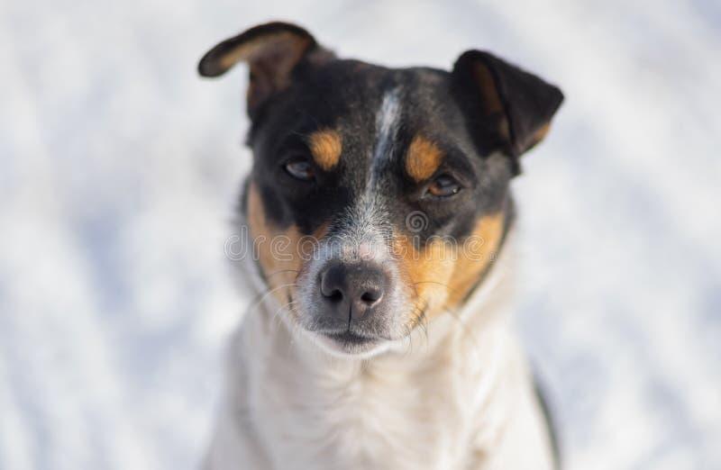 Le portrait de trois a coloré Jack Russell Terrier contre la neige blanche DOF peu profond photo libre de droits