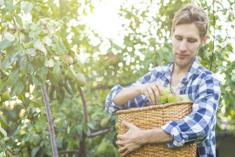 Le portrait du jeune agriculteur barbu dans la chemise à carreaux rassemble des poires de sélections dans le panier de l'arbre images stock
