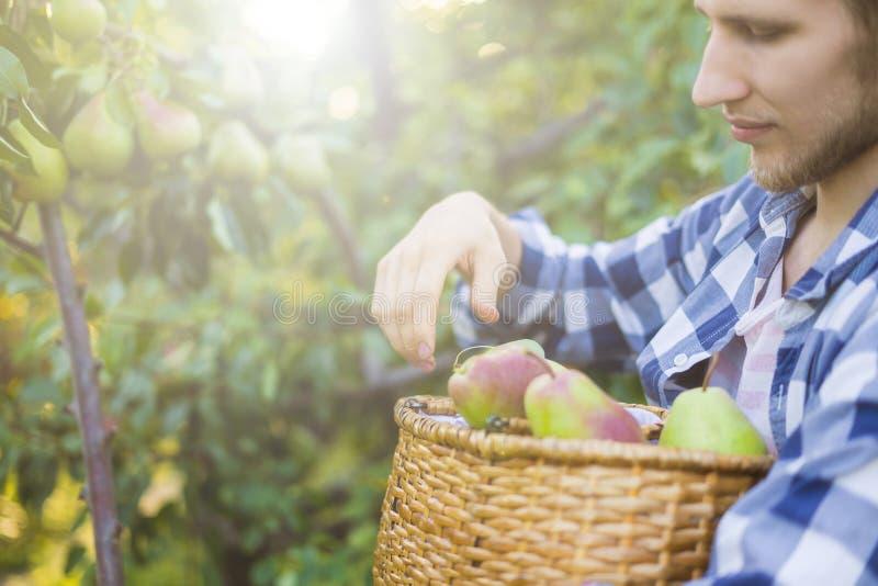 Le portrait du jeune agriculteur barbu dans la chemise à carreaux rassemble des poires de sélections dans le panier de l'arbre photo stock