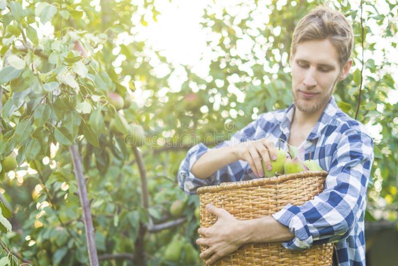 Le portrait du jeune agriculteur barbu dans la chemise à carreaux rassemble des poires de sélections dans le panier de l'arbre image stock