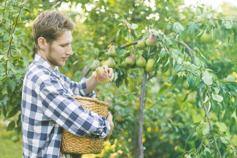 Le portrait du jeune agriculteur barbu dans la chemise à carreaux rassemble des poires de sélections dans le panier de l'arbre photos stock