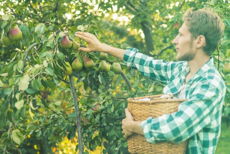 Le portrait du jeune agriculteur barbu dans la chemise à carreaux rassemble des poires de sélections dans le panier de l'arbre image libre de droits