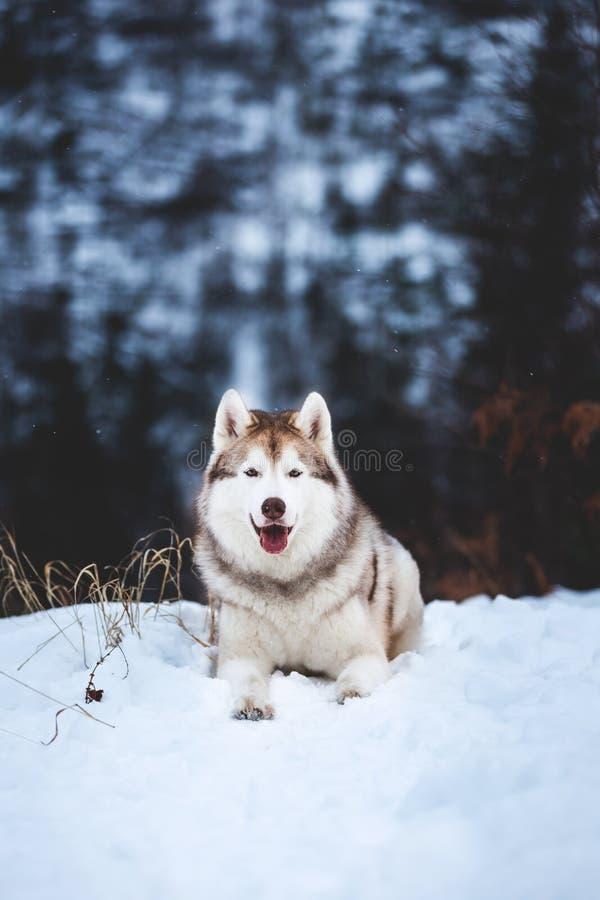 Le portrait du mensonge enroué sibérien magnifique de chien est sur la neige dans la forêt d'hiver au coucher du soleil sur le fo photo libre de droits