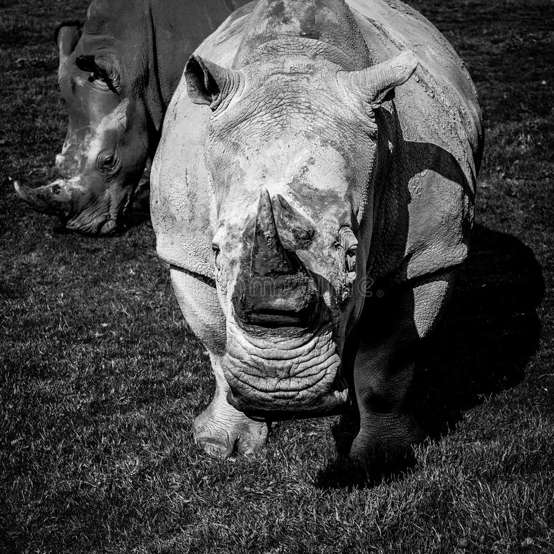 Le portrait du sud de plan rapproché de rhinocéros blanc - noir stylisé photographie stock