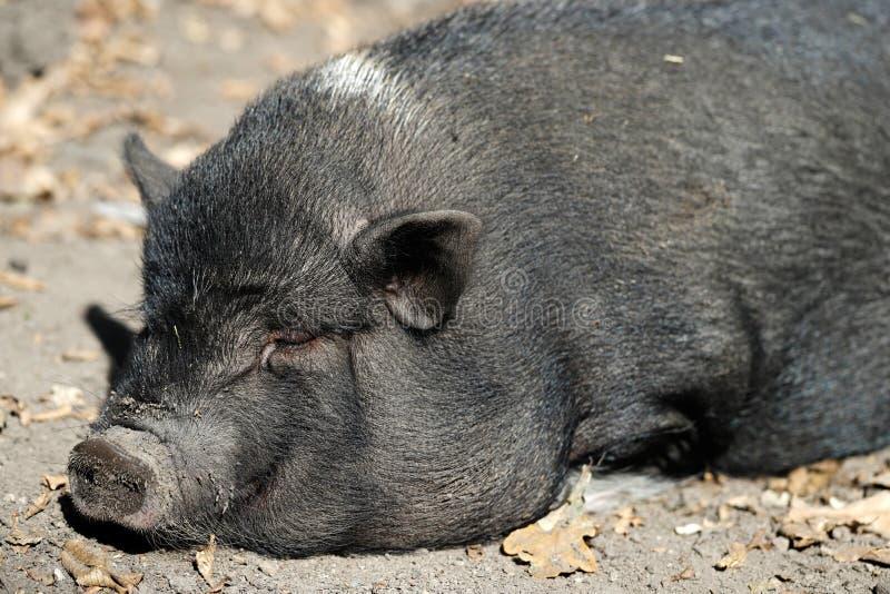 Le portrait du Vietnamien noir de sommeil de race de porc Pot-s'est gonflé photos stock