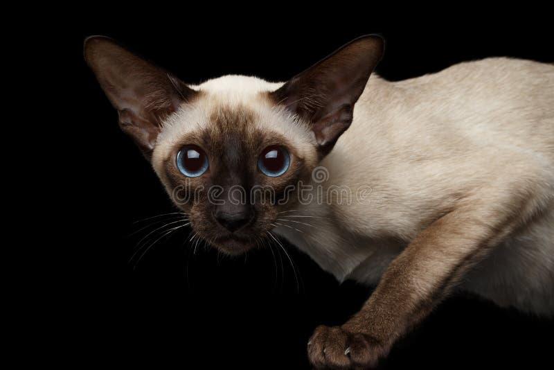 Le portrait en gros plan de Shorthair oriental Kitty regardant l'appareil-photo a isolé le fond noir photo stock