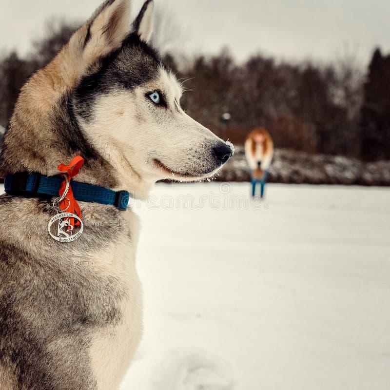 Le portrait en gros plan latéral du beau chien de traîneau sibérien à l'arrière-plan brouillé de la femme principale rouge Horair images stock