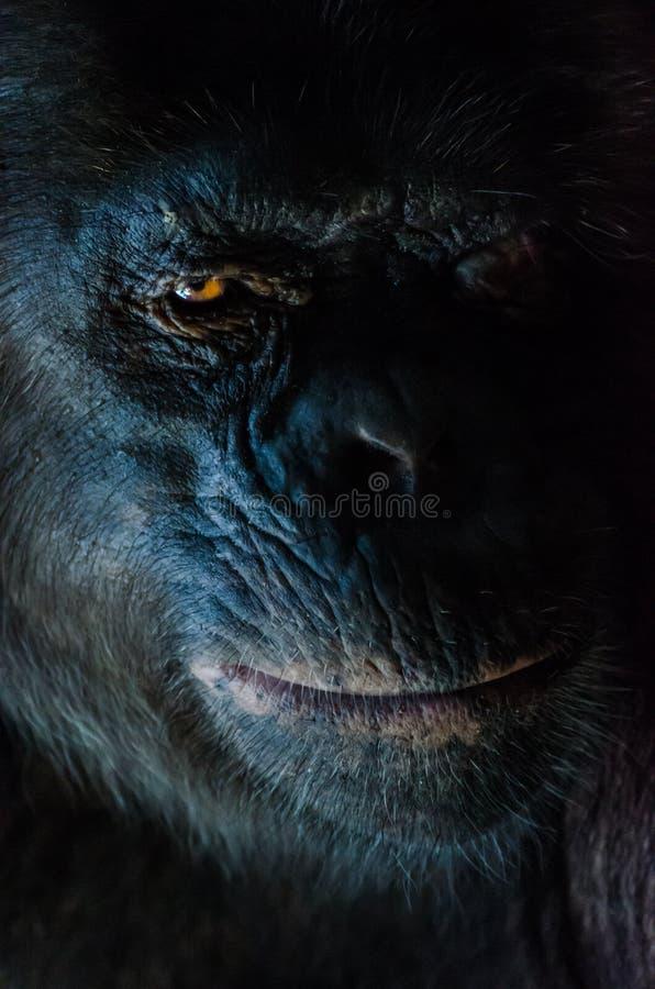 Le portrait foncé de plan rapproché du chimpanzé ou le chimpanzé avec le regard sage aux montagnes d'Afi forent le ranch, Nigéria photographie stock