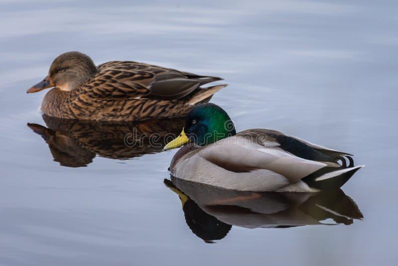 Le portrait naturel des platyrhynchos femelles d'ana d'un mâle et d'un canard réfléchissent sur l'eau en parc naturel d'Albufera, images stock