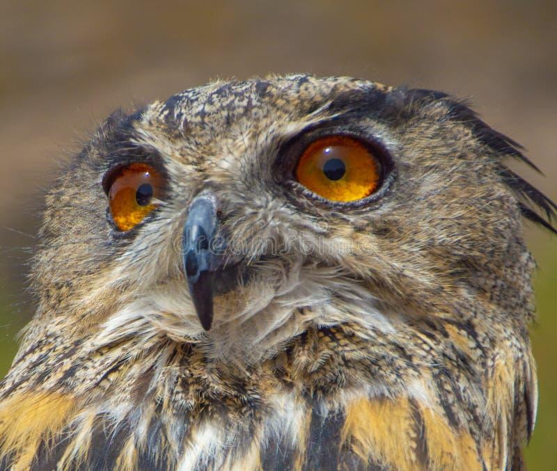 le portrait principal de Faucon-oiseau avec de beaux yeux jaunes se ferment  image libre de droits
