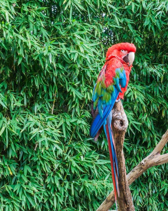 Le portrait tropical d'animal familier d'oiseau d'un perroquet rouge et vert d'ara savent également comme perroquet à ailes vert photos stock