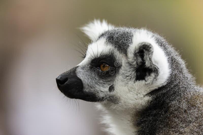 Le portret anneau-coupé la queue de catta de lémur de lémur photos libres de droits