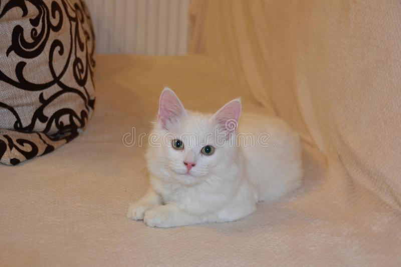 Le pose del gattino fotografie stock