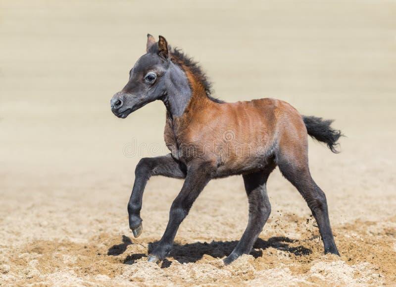 Le poulain de baie est d'un mois de naissance La race est cheval miniature américain photos stock