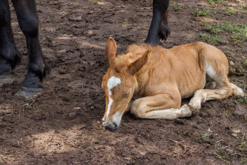 Le poulain dormant et fixent sous ses jambes de maman photos libres de droits