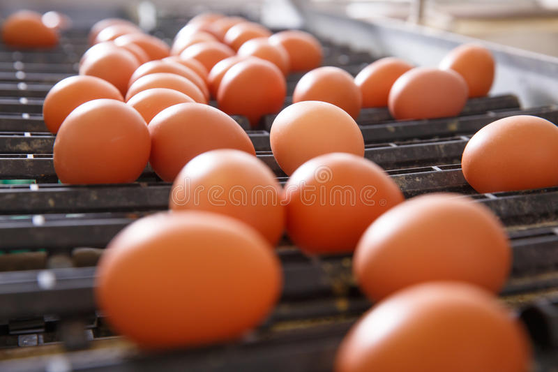 Le poulet frais et cru eggs sur une bande de conveyeur photos stock