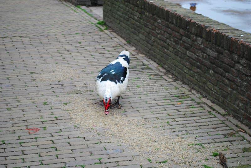 Le poulet mange le grain sur l'asphalte photographie stock libre de droits