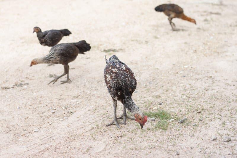 Le poulet recherchent la nourriture au sol photos stock