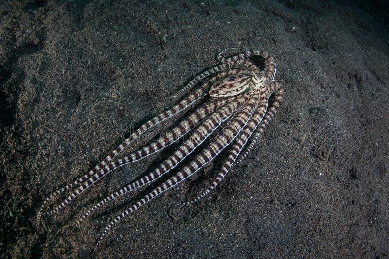 Le poulpe imitateur nage au-dessus du sable noir image libre de droits