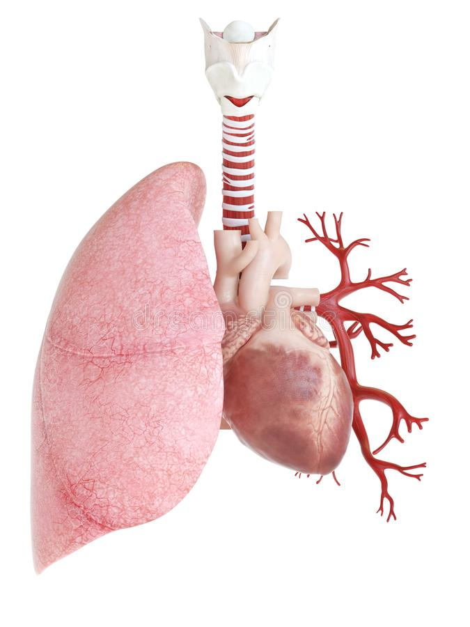 Le poumon et le coeur illustration stock