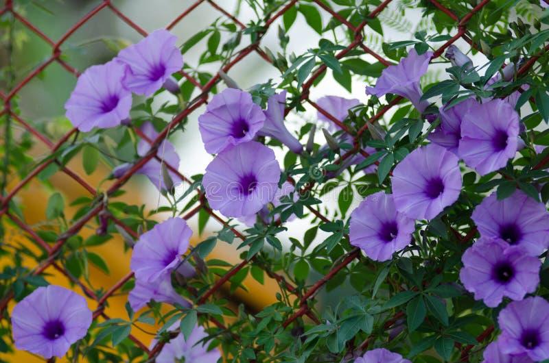 Le pourpre fleurit fleur de Cairica d'Ipomoea la belle sur l'étoile de la barrière A image libre de droits