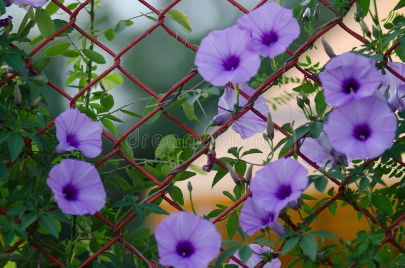 Le pourpre fleurit fleur de Cairica d'Ipomoea la belle sur l'étoile de la barrière A photos stock