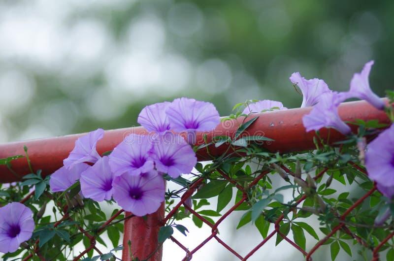 Le pourpre fleurit fleur de Cairica d'Ipomoea la belle sur l'étoile de la barrière A photographie stock