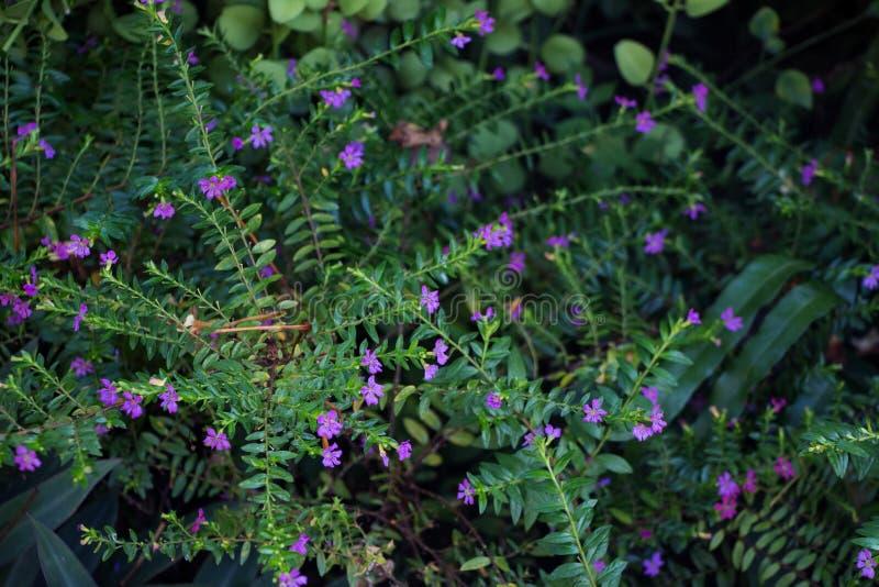 Le pourpre fleurit le hyssopifolia et le Rhoeo de Cuphea photographie stock libre de droits