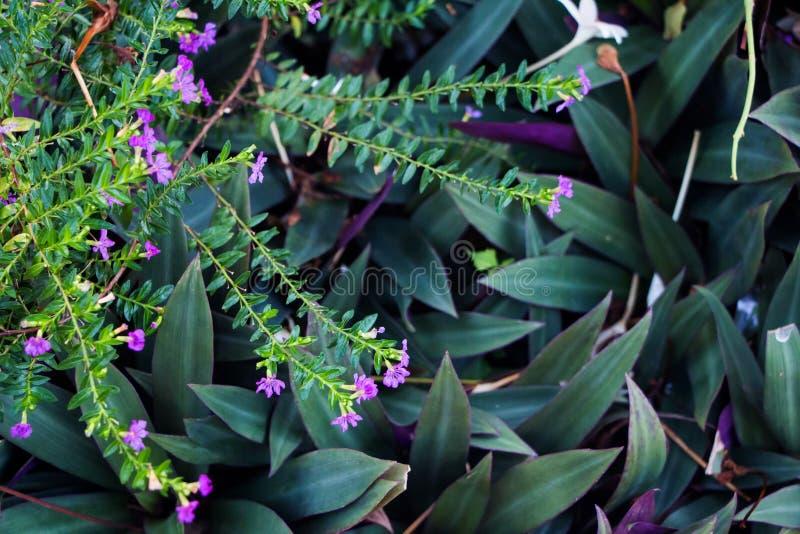 Le pourpre fleurit le hyssopifolia et le Rhoeo de Cuphea photo stock