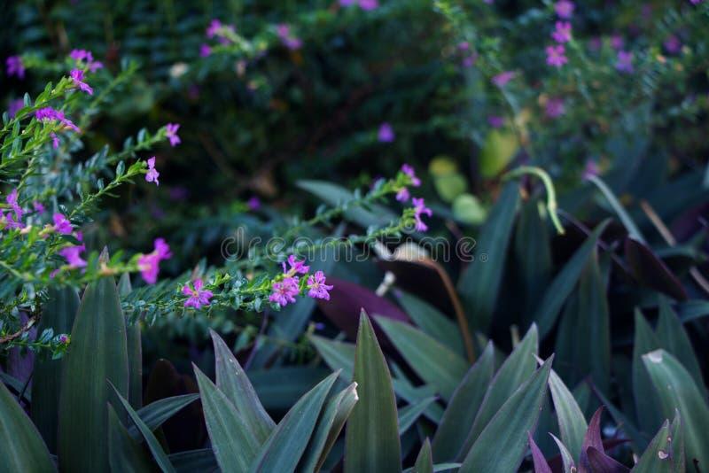 Le pourpre fleurit le hyssopifolia et le Rhoeo de Cuphea images libres de droits