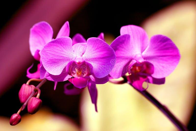 Le pourpre musarde l'orchidée images stock
