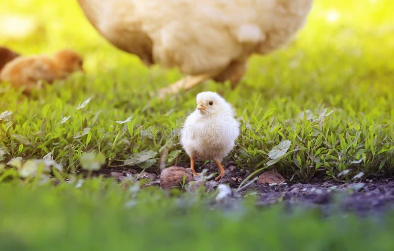 le poussin jaune marche à travers la cour avec la poule un jour ensoleillé d'été image libre de droits