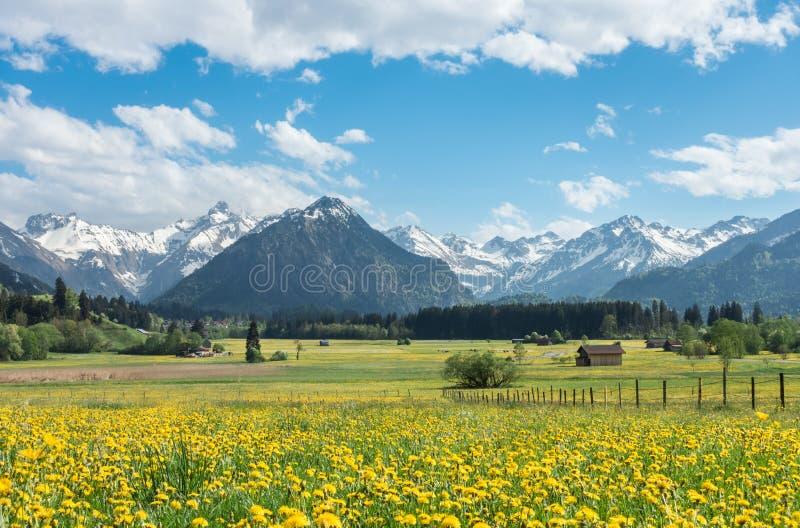 Le pré jaune de fleur avec la neige a couvert des montagnes et des granges en bois traditionnelles La Bavière, Alpes, Allgau, All photographie stock