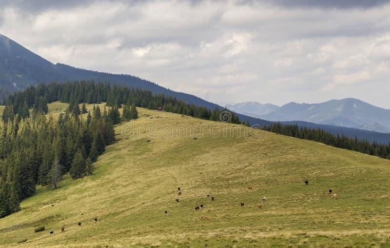 Le pr? herbeux vert avec fr?ler des vaches sur le fond de la montagne bois?e disjoignent le ciel bleu Belles montagnes de vue de  photographie stock