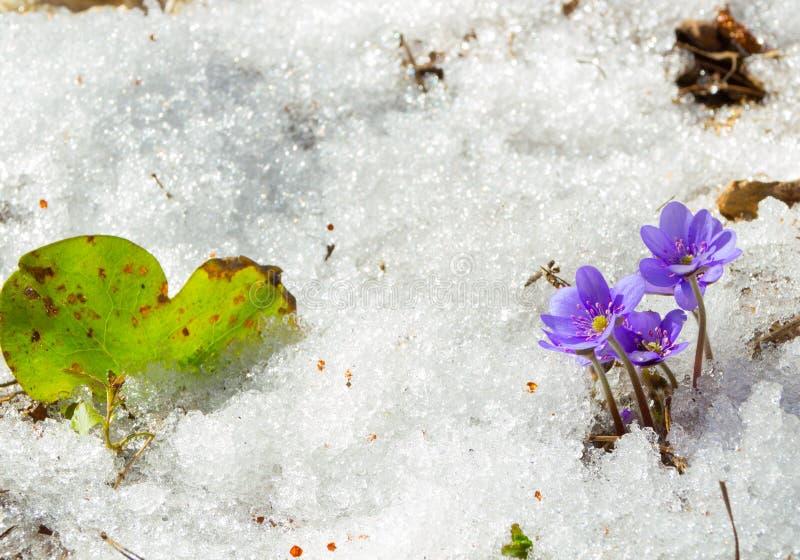 Le premier ressort fleurit dans la neige de fonte photo libre de droits