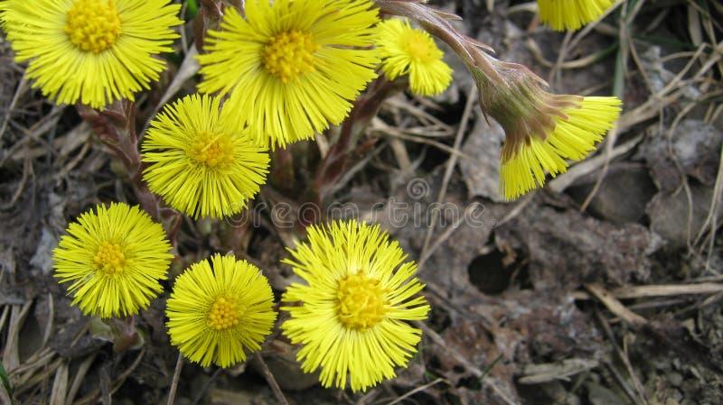 Le primaverine, fiori, molla fiorisce, fiori gialli fotografia stock
