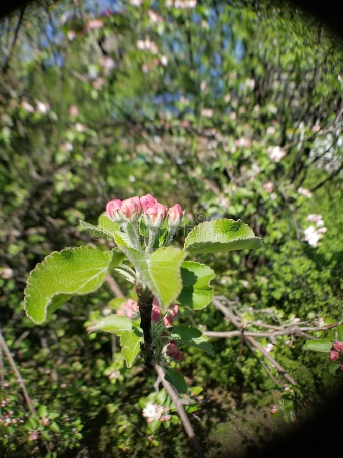 Le printemps… a monté des feuilles, fond naturel photographie stock